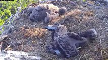 MNBound Eaglets Harmony 30 Days & Peace 27 Days Old 5-15-13