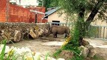Eating Rhino in Opole Zoo Jedzący Nosorożec w Zoo Opole