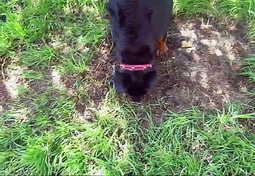 Rottweiler Puppy Playing