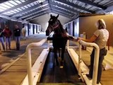 Horse walking, trotting and cantering on a treadmill