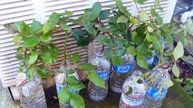 How to grow rose plant cuttings in water
