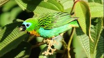 Aves coloridas da Mata Atlântica - The most beautiful and colorful birds of the Rainforest