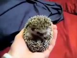 Boogie Boogie Hedgehog