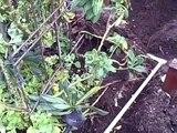 Building a Raised Garden Bed - Setting up Underground Irrigation