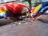 Wild Macaws:  Ara Macao Release Tiskita