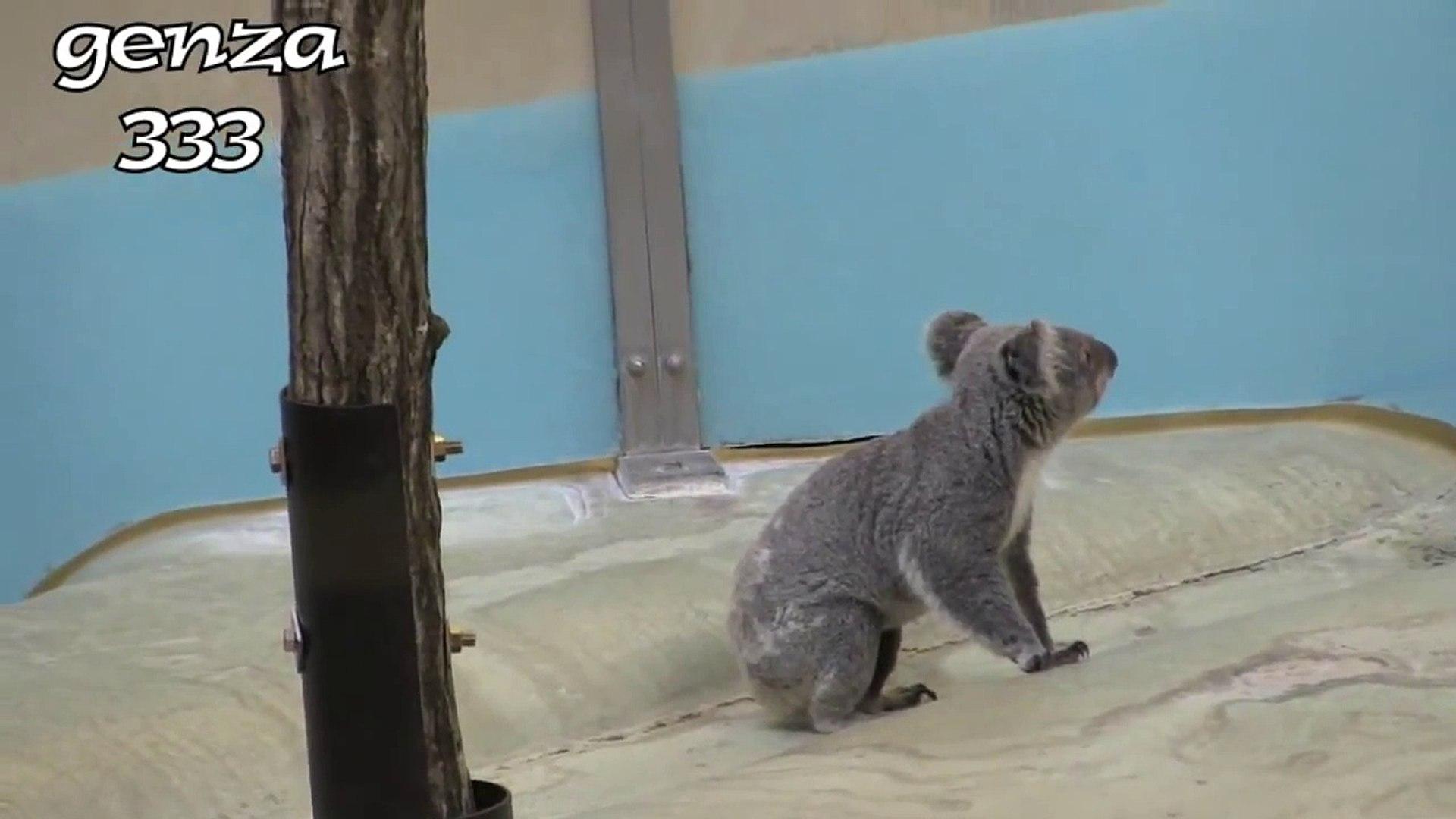 Cute Koala Video:Cute Animal Video