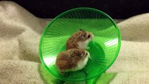 Hamsters Running and Spinning On Wheel - Very Funny