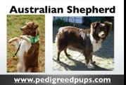 Australian Shepherd puppies - Australian Shepherd Dog Breed Information