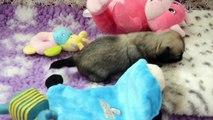 les 1ers pas de Léo, bébé chihuahua