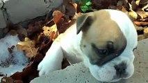 English Bulldog pups but no longer pups and no longer for sale- still CUTE!.