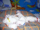 Pui Bichon Bolognese cu Pedigree / Bichon Bolognese Puppies FCI Registered