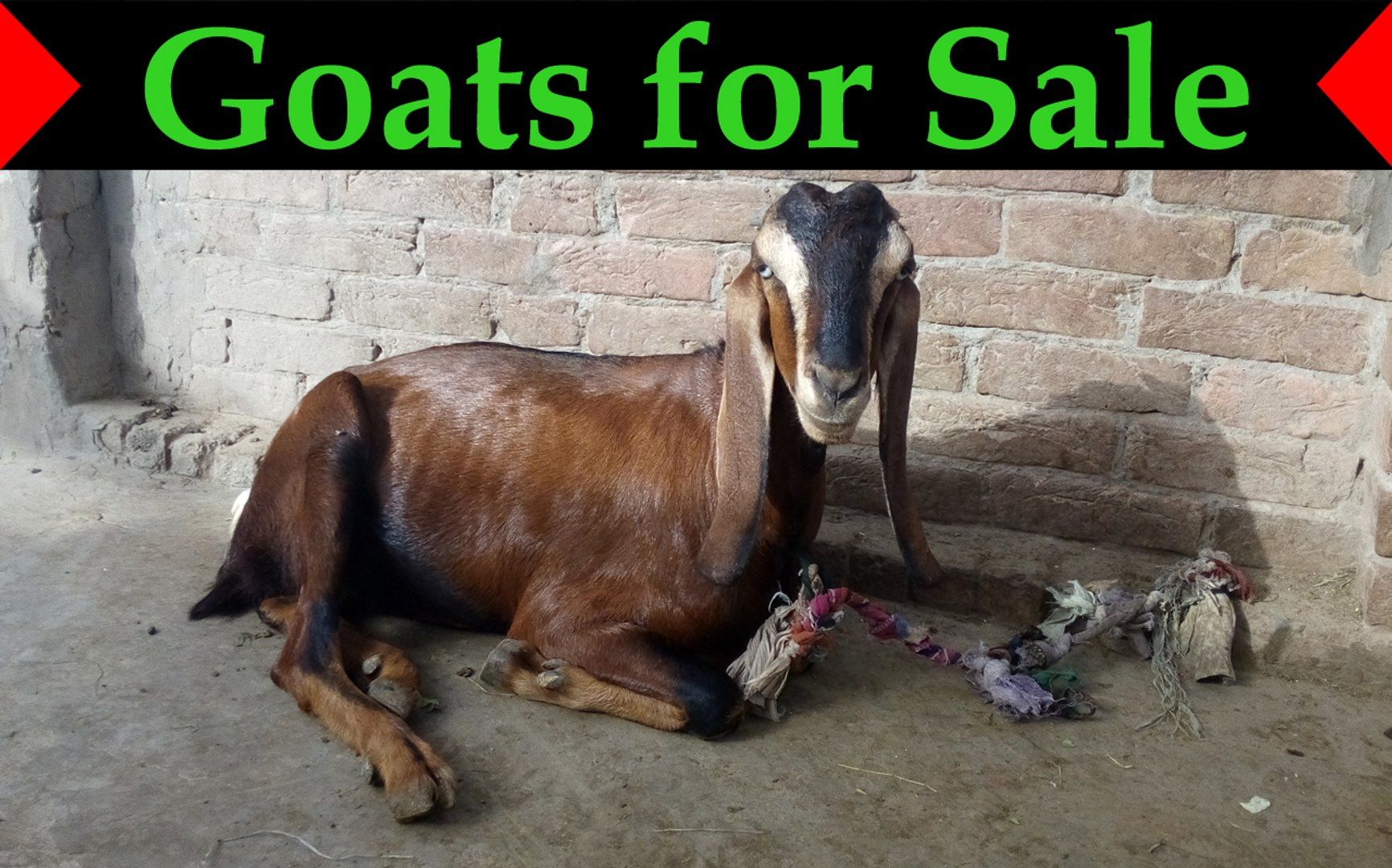 3 Goats for Sale in Pakistan - [Females]