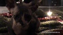 Chatons de Noel / Christmas Kittens