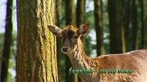 fallow deer - damhert - dama dama