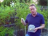 Ladybugs for the Garden -- Get Rid of Aphids -- How to Release Ladybugs