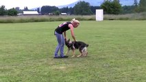 Mila vom Kraftwerk - Obedience In Drive - Trained German Shepherd Puppy