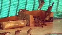 Funny Vicious Sparrows (actual sound) - Divertidos Gorriones Agresivos (sonido real)