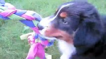 Australian Shepherd Puppies 10 weeks