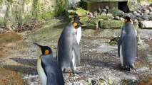 1dee7555e7ef King and Humboldt Penguins at Birdland Park and Gardens - Bourton on the  Water