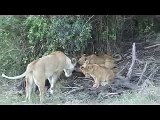 Lioness and Cubs Feeding