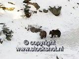 brown bear - bruine beer - ursus arctos