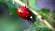 Lady Bugs & Lady bug larvae 1080p