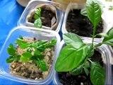 Transplanting My Kaffir Limes | Ep. 65 | Key Limes, Kaffir Limes, Kumquats Update