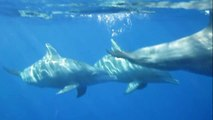 Snorkeling with dolphins in Mauritius