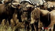 Zebras and Wildebeest Migration (Masai Mara, Kenya, Africa)