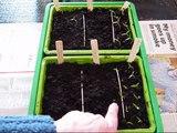 Transplanting pepper and tomato seedlings.wmv