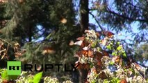 Mexico: Monarch butterfly migration under threat from US GMOs