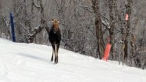 Orignal au Mont-Ste-Anne, Moose of Mont-Sainte-Anne