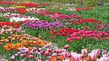 Hortus Bulborum Limmen Historical tulips Jardin Historique tulipes Historische bloembollen tulpen