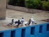 pigeons irans shiraz(kaftar shiraz)duva från shiraz