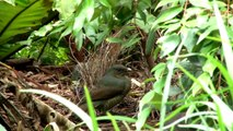 Satin Bowerbirds Flirting. Filmed with Sony NXCAM