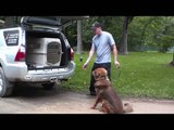 Tibetan Mastiff Grizzly - Boot Camp Dog Training Graduate