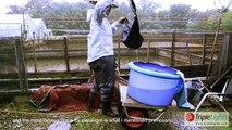 Raising Nishikigoi - Japanese Carp Documentary | TripleLights