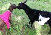 Is This the Cutest Goat Fight Ever?