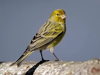 atlantic canary singing sounds atlantic canary