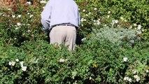 Sound Of Munching Caterpillars Puts Plants In Defense Mode