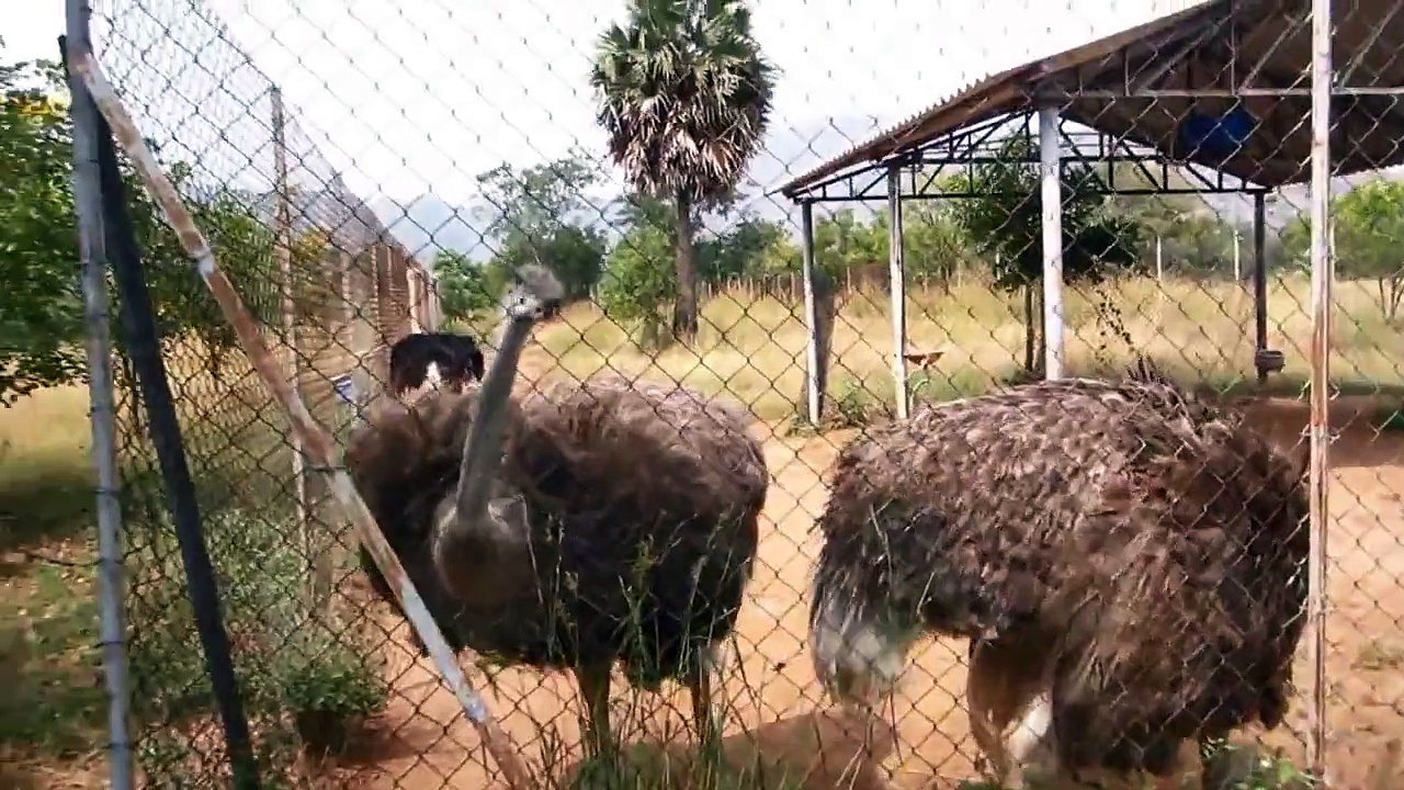 Ostrich rearing
