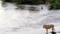 Crocodile vs lion - Attacchi Crocodile leone |  Crocodile Attacks a lion