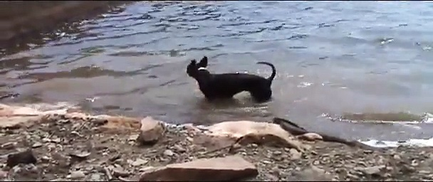 Boston Terrier Swimming