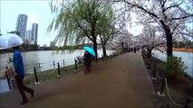 Sakura Blossom 2014, Ueno Park, Tokyo