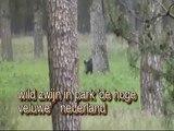 wild hogs / wild zwijn en edelherten op de hoge veluwe