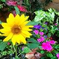 #NoFilter #Sunflower #Flowers #Flower #Beautiful #Pretty #Instagood #Flora #Petals #Petal #Sunshin