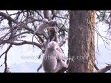 Naughty langurs playing around on trees - Landour, Uttarakhand