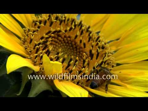 Honey bee forages on a sunflower head