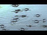 Water skater insects utilize surface tension to walk on water!