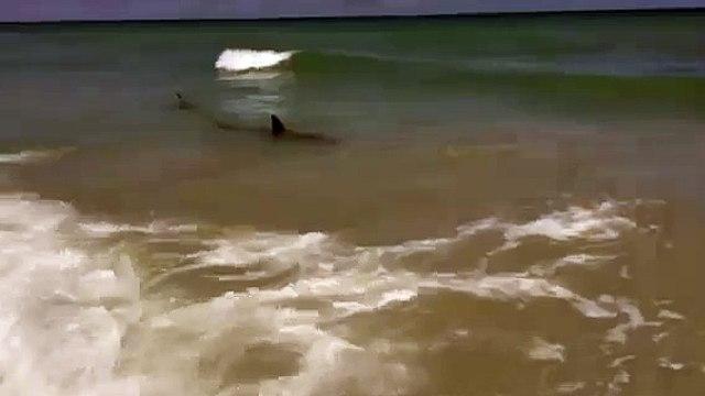 Sharks swimming at Waveland Beach